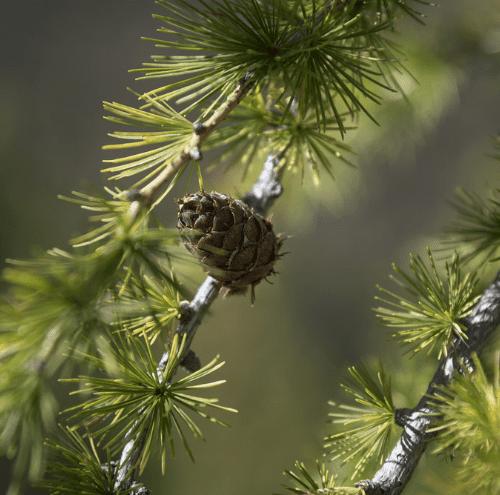 zirbenwald_natur